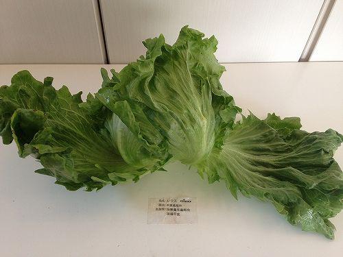 生活クラブの野菜(レタス)