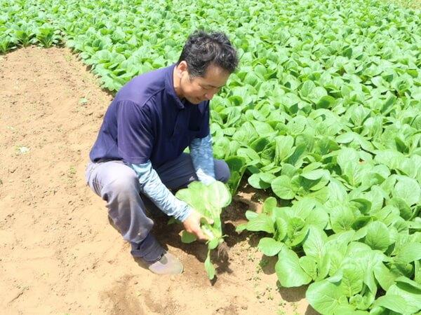 小松菜の収穫作業