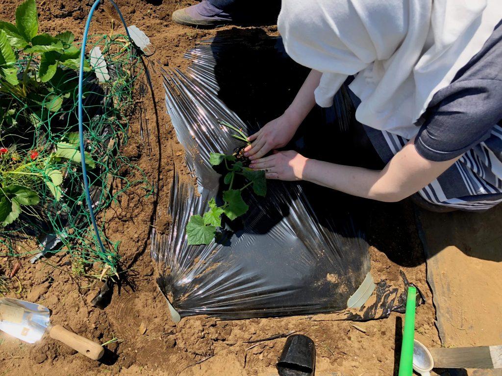シェア畑・苗種植え付け・口コミと評判12
