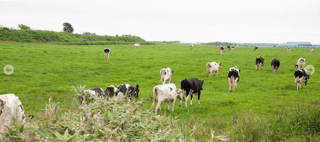 北海道の猿払(さるふつ)牛乳の感想と体験談22