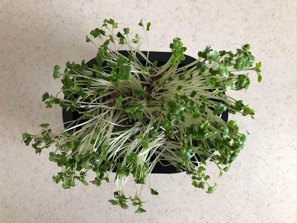 ブロッコリースプラウトの栄養価・効果・おすすめレシピ・自家栽培方法を野菜ソムリエが解説19