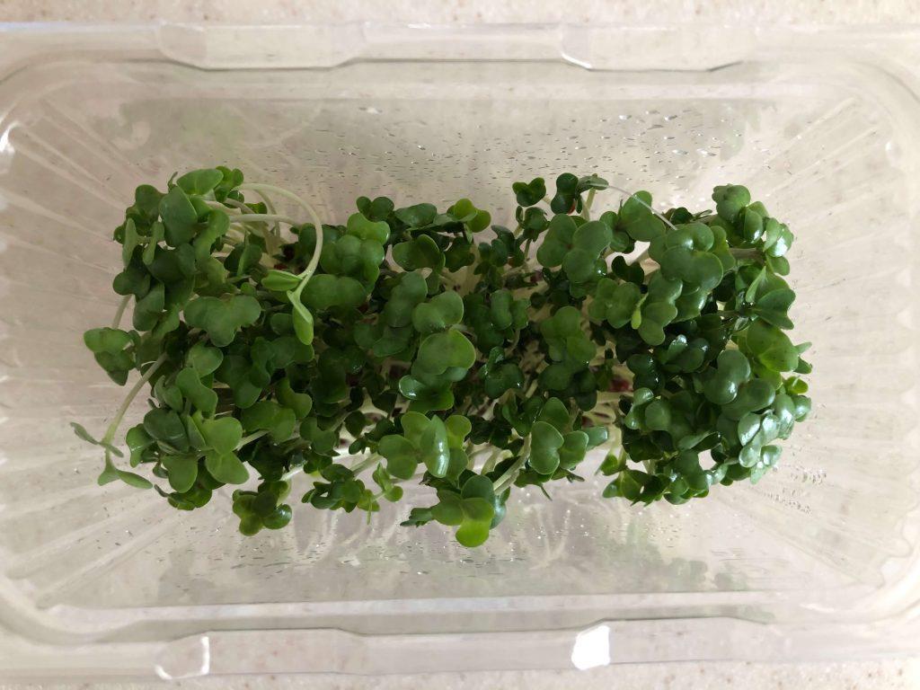 スーパー野菜「ブロッコリースプラウト」の栽培日記35