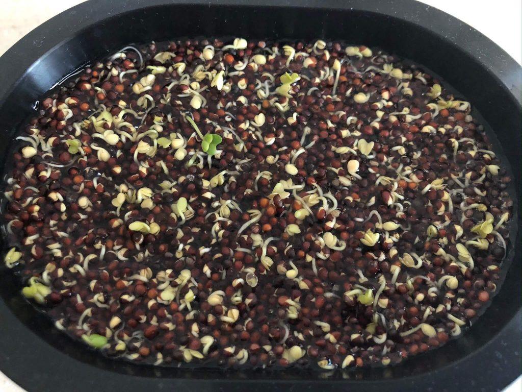 スーパー野菜「ブロッコリースプラウト」の栽培日記10