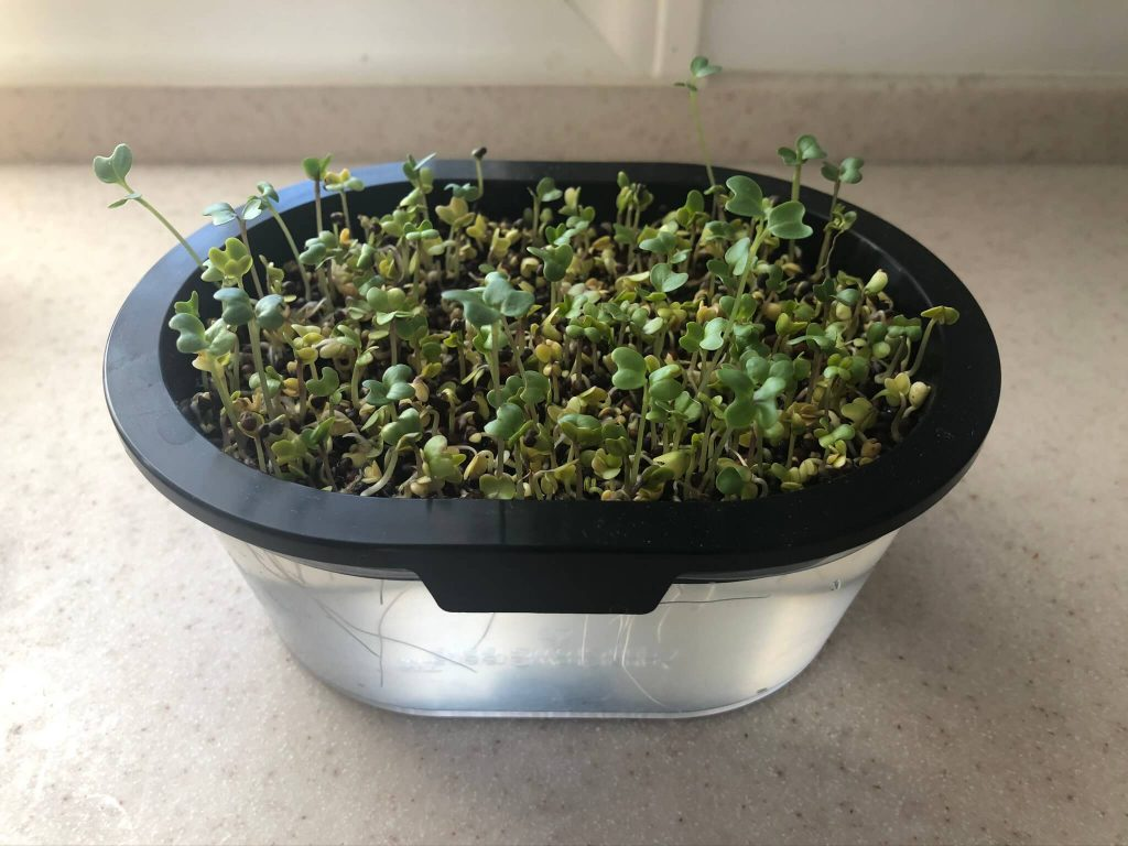 スーパー野菜「ブロッコリースプラウト」の栽培日記16