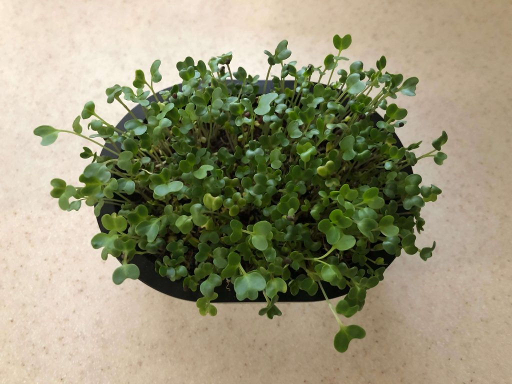 スーパー野菜「ブロッコリースプラウト」の栽培日記23