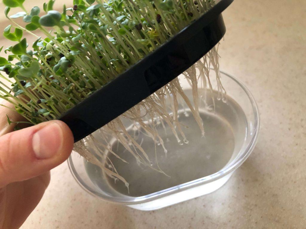 スーパー野菜「ブロッコリースプラウト」の栽培日記24