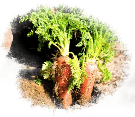 京都市の無農薬・有機肥料のオーガニック野菜宅配「あらい農園」の口コミ7